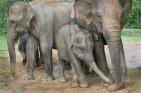 Family group of elephants, Yala West National Park, Sri Lanka