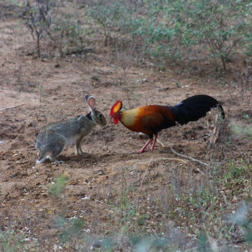 Love at first sight, Cock and Hare, Yala West National Park, Sri Lanka