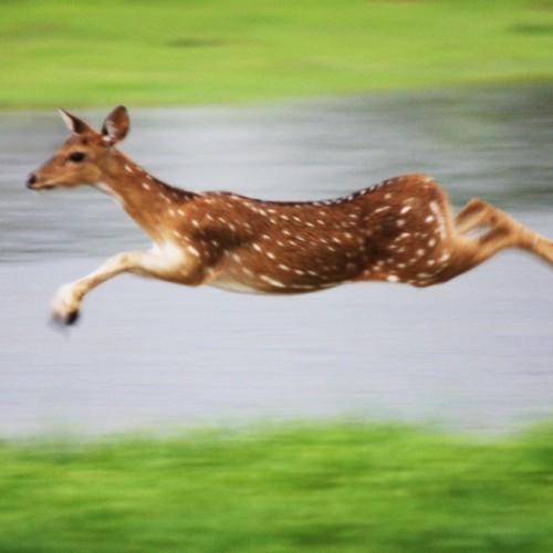 Spotted deer in flight, Yala West National Park, Sri Lanka