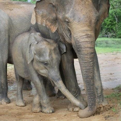 Mother and baby elephants, Yala West National Park, Sri Lanka