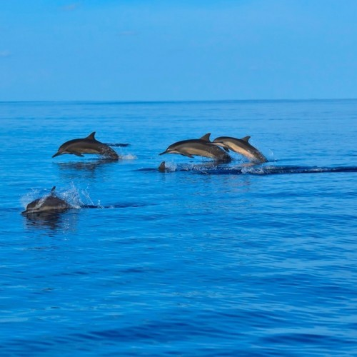 Pod of dolphins swimming near Palagama Beach Resort, Kalpitiya, Sri Lanka